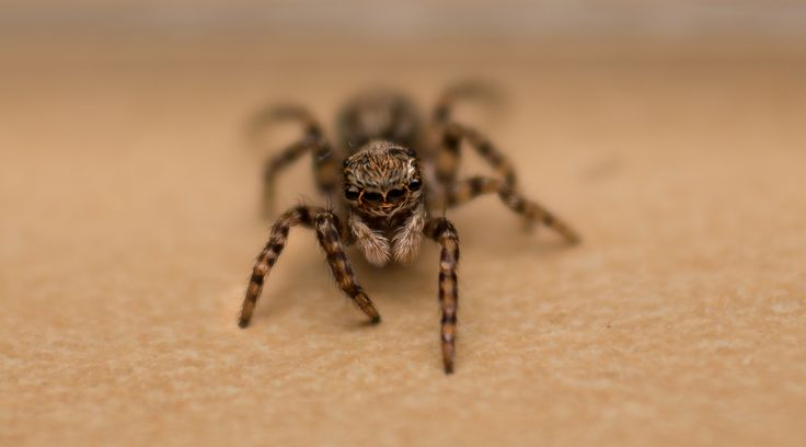 Photograph Jumping Spider by Orian, Kévin BOYER on 500px