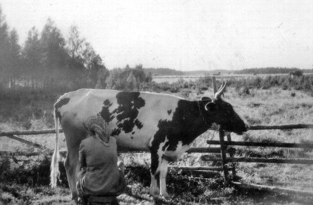 """Milking a Finnish Ayershire by hand - """"Hanna lypsyllä ja kesäaamun tunnelmaa"""" ... Finland"""