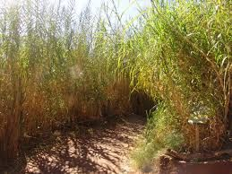 elephant grass - Google Search