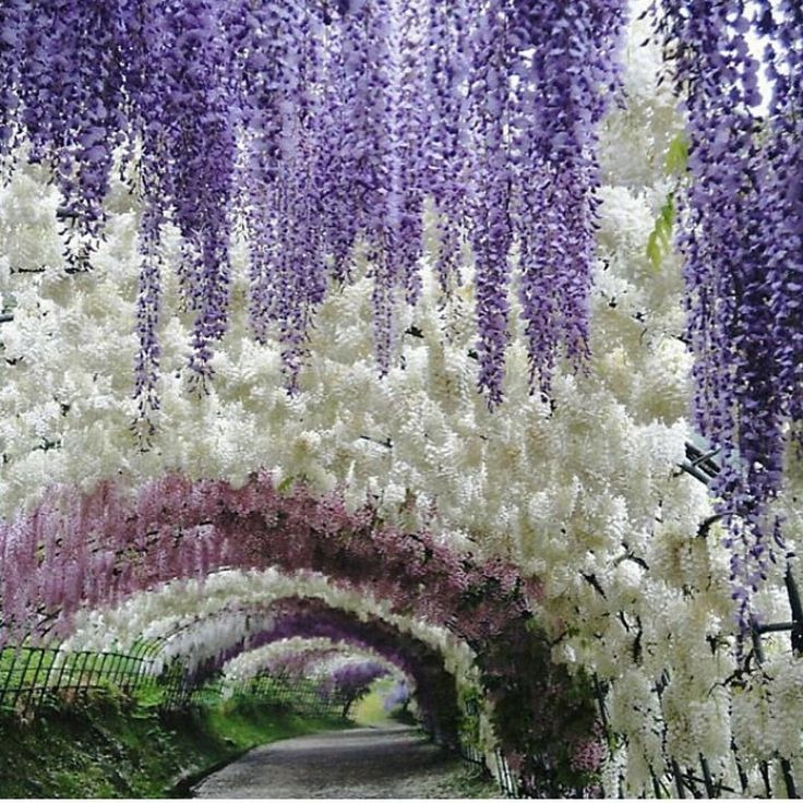 The wisteria tunnels are located in the Kawachi Fuji Gardens in Kitakyushu, Japan, six hours outside of Tokyo