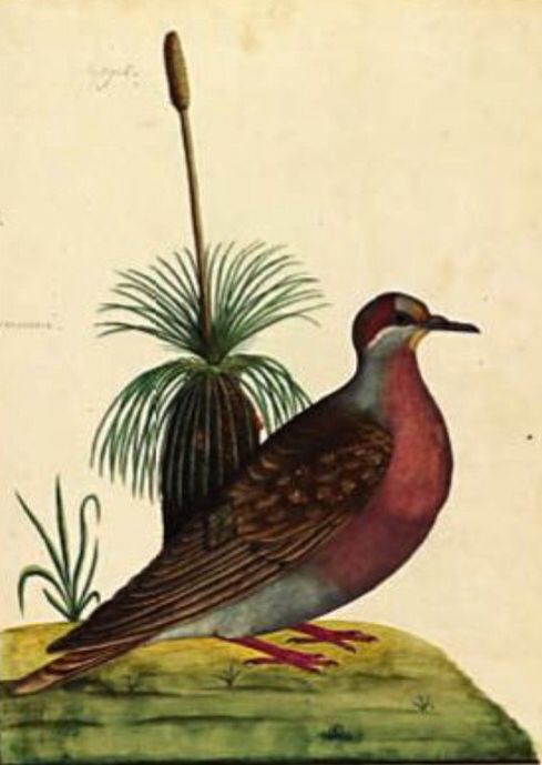 First Fleet art done by Midshipman George Raper, who arrived on HMS Sirius, the flagship of the First Fleet, at Port Jackson in January 1788. His beautiful illustrations of the local birds and plants were among the first visual impressions of Australian flora and fauna by Europeans