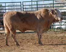 Name: Coyote Contractor: Berger Bucking Bulls & Teague Bucking Bulls Breed: Hereford/ Brahma Cross Weight: 1,150 Born: 1998