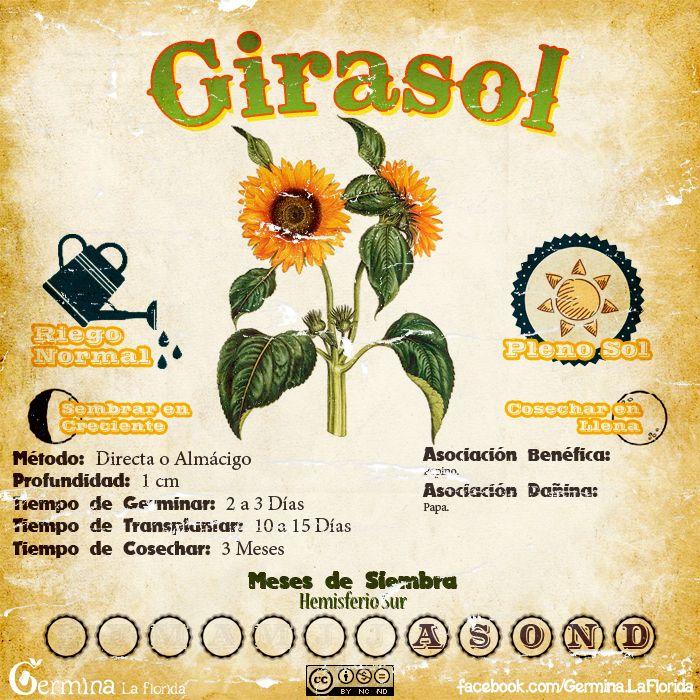 Girasol2.jpg (700×700)