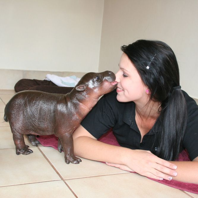 Baby Pygmy Hippo. SERIOUSLY looks like my dog Keena without fur. This is a scary thought. Yet cute?? ahhh weird.