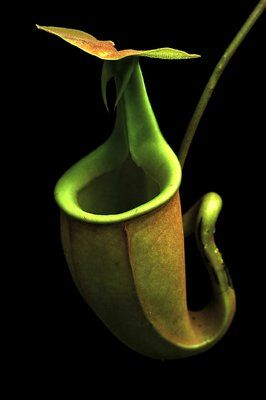 Pictures of Bucket Orchid -   Nikon D100 Camera