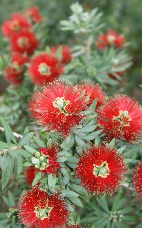 Little John Bottlebrush,Callistemon viminalis 'Little John', copyright © almostedenplants.com