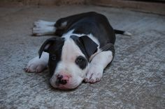 Free Blue Pitbull Puppies | Here are some pictures of our eight week old blue nose pitbull puppy ...