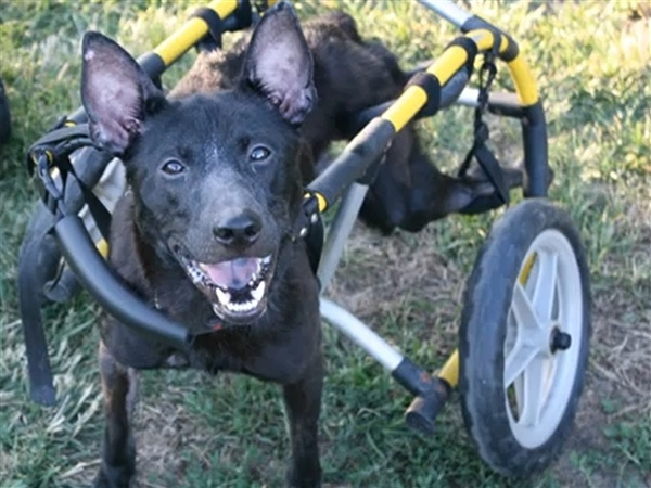 The Dog Knight rises: Injured pooch has his own Batmobile - Animal Tracks: Animal Tracks, Handicap Pooch, Beautiful Animal, Pet Dogs, Inspiration Stories, Animals Species, Abuse Animal, Pooch Finding, Handicap Dogs
