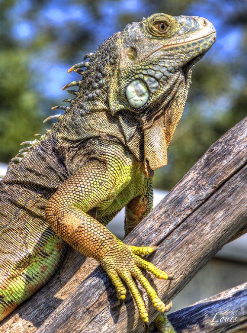 Iguane                                                       …