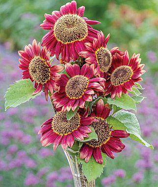 Sunflower, Crimson Blaze , , large