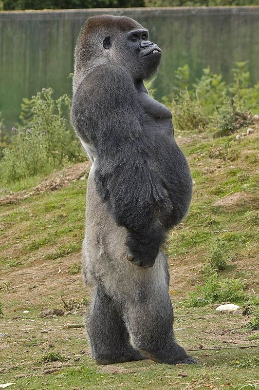 Just when you think you are so evolved & sophisticated, you see a gorilla walking more erect than you! ;)