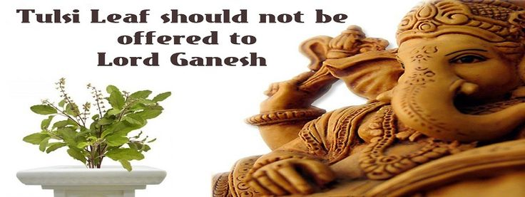 Tulsi mata is considered as the most holy plant in India but Tulsi is not offered to Ganesha because they are involved in a mutual curse.