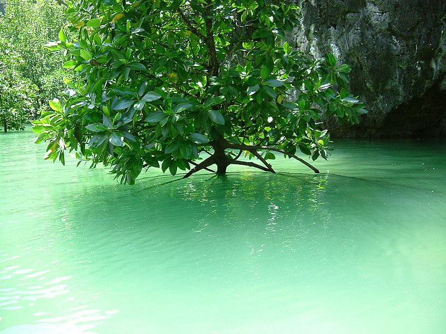 Mangrove Day 2014   www.frontier.ac.uk   #mangroveday #nature #plant #mangrove #biodiversity #forest #saltwater #tree