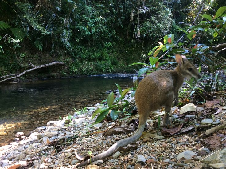 Taking in the serenity - a rainforest stream with a wallaby joey in the foreground. This is Australia