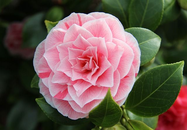 What S So Special About The Camellias In Your Garden In Spoken Garden S Camellia Plant Profile Learn About Camellia Plan Camellia Plant Plants Flower Seeds