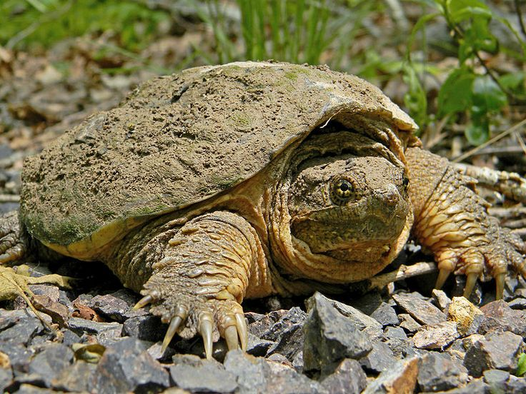 Common Snapping Turtle. Not so welcome in our paradise!