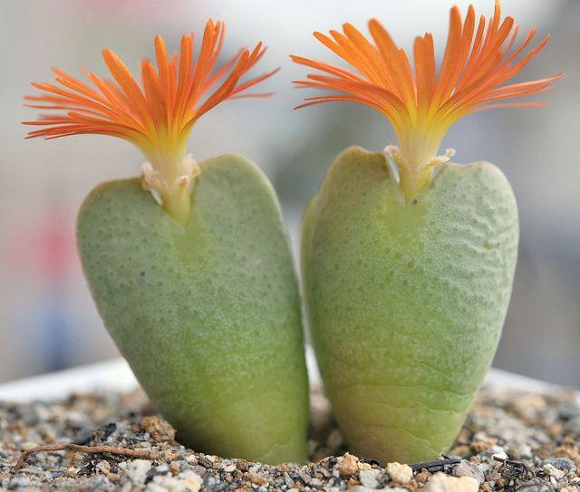 Succulent / Conophytum cv.