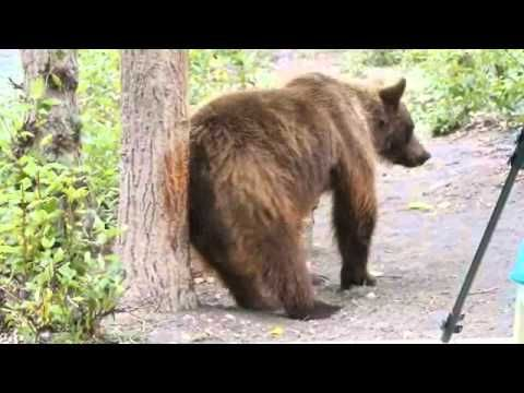 YouTube Video Female Grizzly Bear Bum Rub! BC Bears Natures Photo Adventures www.naturesphotoadventures.com