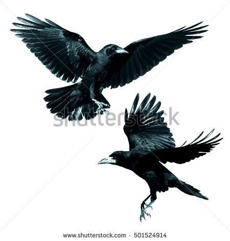 Birds - Rook (Corvus frugilegus) isolated on white background. Mix two birds.