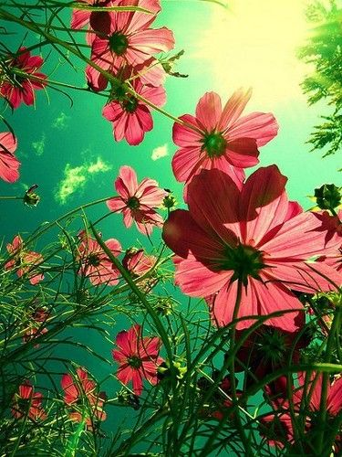 flowers.: Angles, Flowers Gardens, Pink Flowers, Colors, Beautiful, Cosmos, Photo, Sun, Gardens Plants