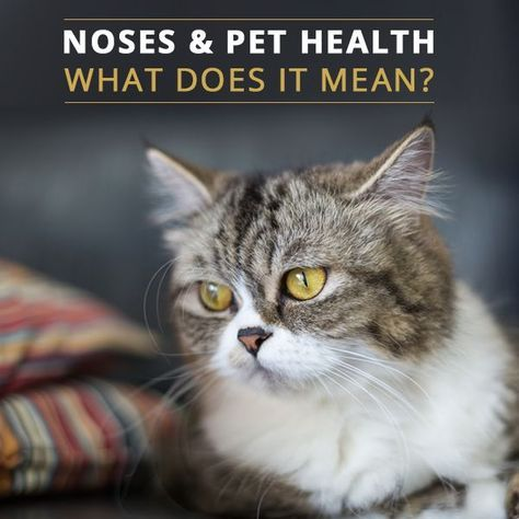 Wet or Dry Nose? Understanding Your Cats Health. #cathealth #catsnose