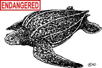 DEEP: Leatherback Sea Turtle Fact Sheet