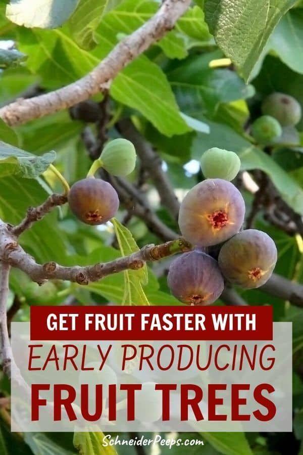 7 Of The Fastest Growing Fruit Trees Making Diy Fun Fast Growing Fruit Trees Growing Fruit Trees Growing Fruit
