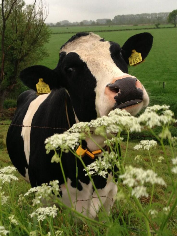 cow and queen annes lace