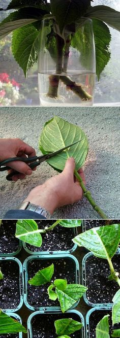 Grow Hydrangea From Cutting.......First  Find a hydrangeas and cut some small branches.  2. Place your cuttings in water, at least for an hour. Then Cut the top and the top of each leave.