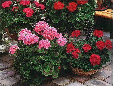 9 НЕДУГОВ, КОТОРЫЕ ЛЕЧИТ ГЕРАНЬ. Пеларгония домашняя (герань) — растение, которое раньше считали цветком аристократов. Ее восхитительные пышные цветы и яркий окрас станут украшением любого жилища. Но герань — это не просто красивый …