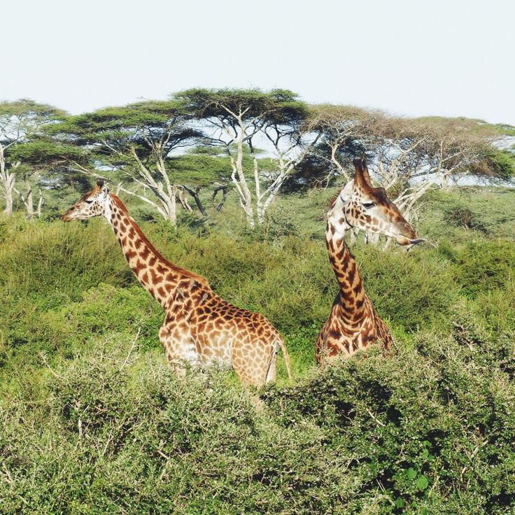 Giraffes | marcovici | VSCO Cam