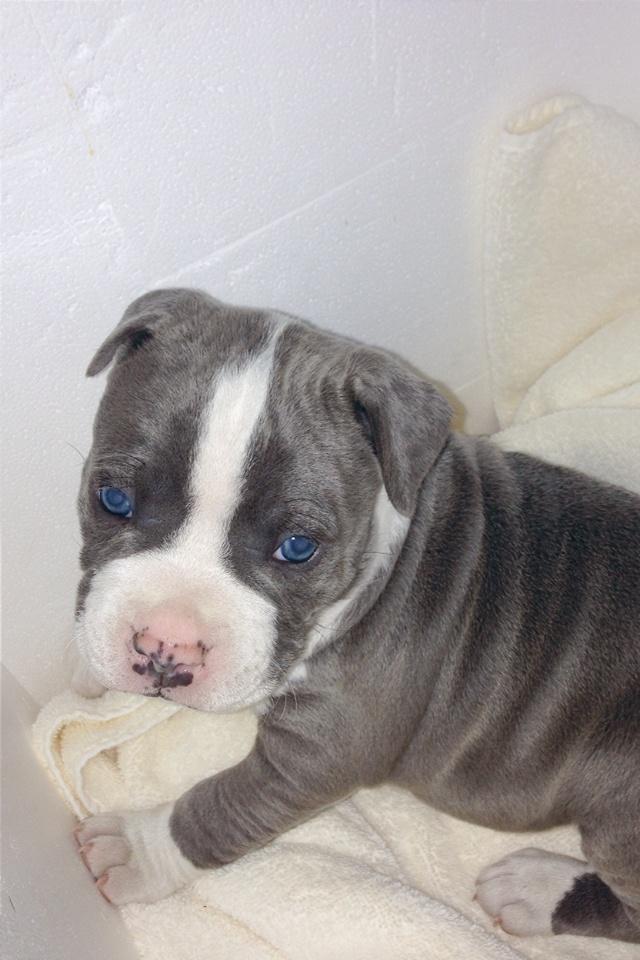 Gorgeous eyes - American bulldog blue pit mix | dogs ...
