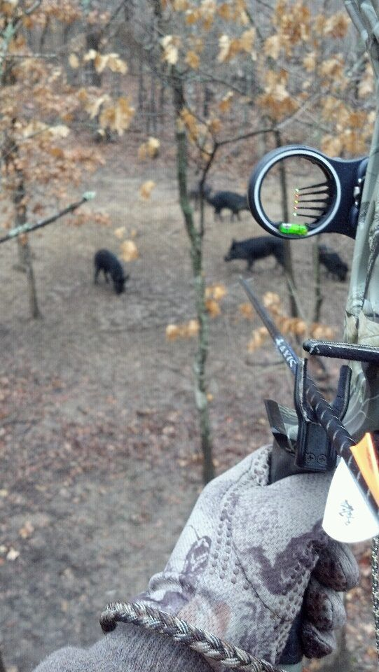 Wild Hog Hunting With Bow.. Ready to send one right into the boiler!! http://riflescopescenter.com