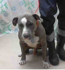 FINAL HOURS RIGHT NOW! DUE OUT 2/18!! HE NEEDS A HERO ASAP!  Harris County Shelter Houston TX male pit mix http://www.petharbor.com/pet.asp?uaid=HRRS.A399234 https://www.facebook.com/photo.php?fbid=1467207440158308&set=a.1387855864760133.1073741827.100006071973359&type=1&theater&notif_t=comment_mention