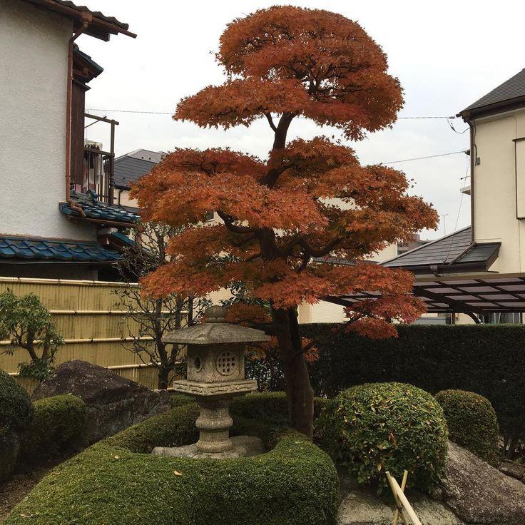 紅葉  日本が四季があるから変化を楽しめるのが素敵✨ #庭師#庭造り#エクステリア#剪定#造園#植木屋#japanesegarden#garden#landscape #stone masonry