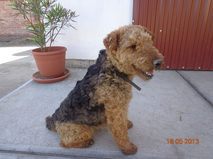 Zizi 5 years old. <3 <3 Half-short hair Welsh terrier adult, black and tan