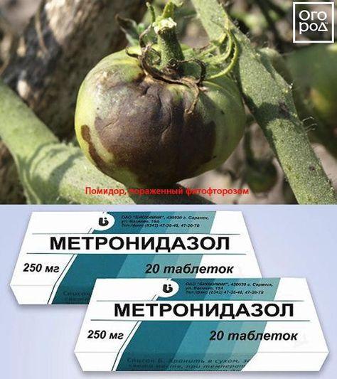 Метронидазол помогает против фитофтороза