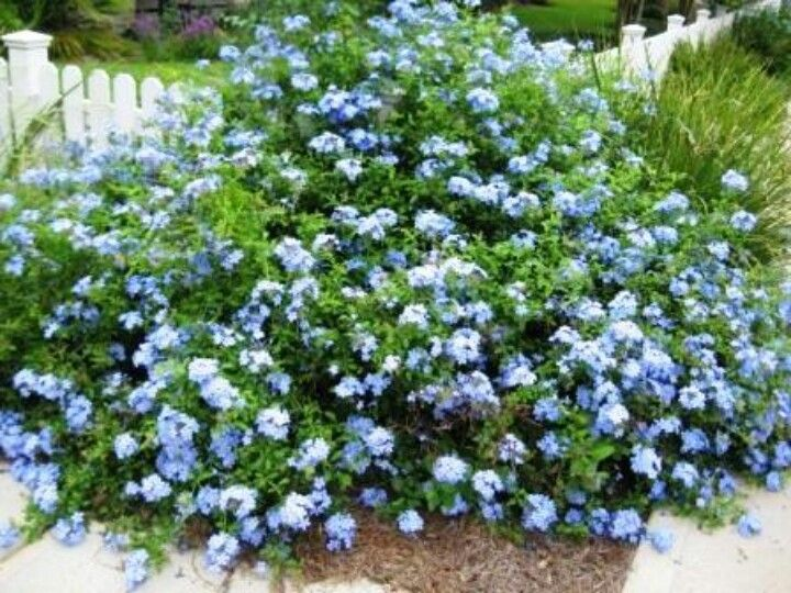 Blue Plumbago Drought Tolerant Likes The Heat Would Look Great Along Back