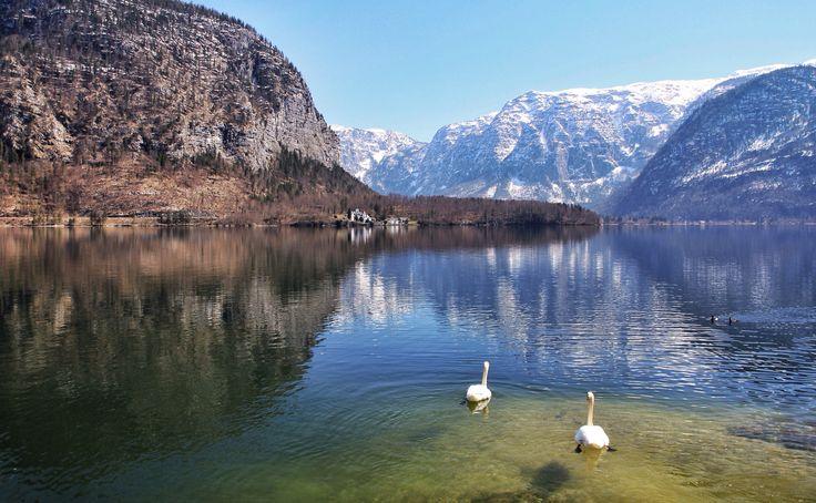 Swans - Hallstatt (Austria)