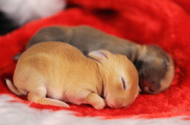 A mix breed of Netherland Dwarf Rabbit and Mini Usagi. Sleeping Bunnies by Spice ♥ Darling, via Flickr