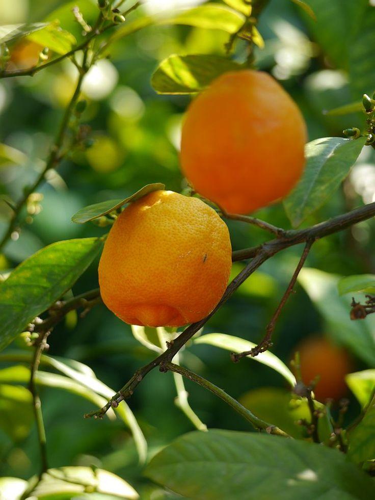 178 besten zitruspflanzen bilder auf pinterest mandarinen zitronen und pflanzen. Black Bedroom Furniture Sets. Home Design Ideas