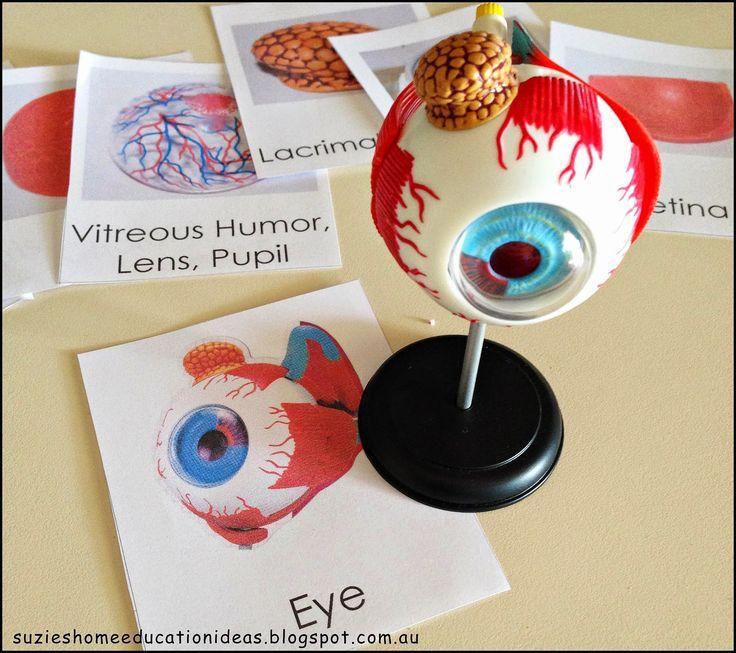 Anatomy of the Human Eye - PurposeGames