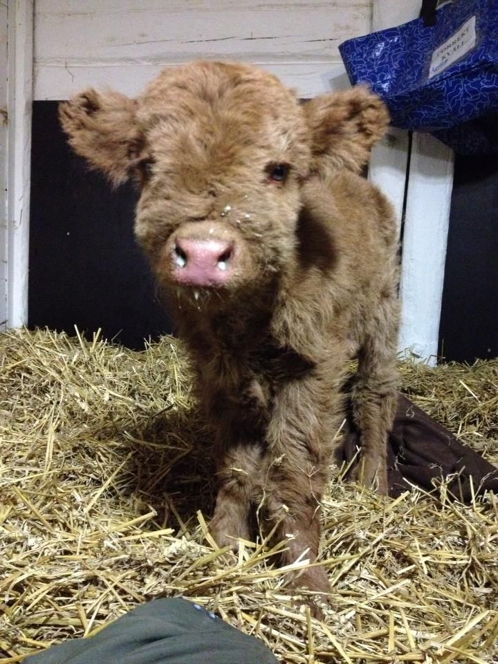 Fuzzy baby cow!! :)
