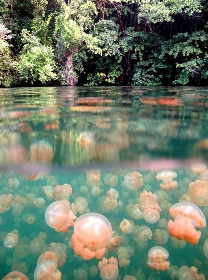 Jellyfish Lake, Palau http://www.travelbrochures.org/174/australia/vacationing-in-palau