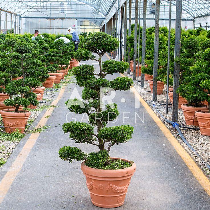 Arbre chic arbres nuage japonais bonsai geant - Bonsai arbre prix ...