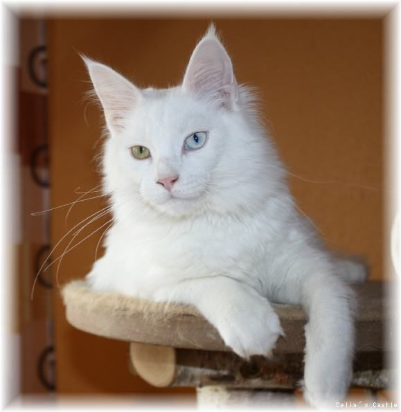 Maine Coon, odd-eyed. White Angel of Delia´s Castle