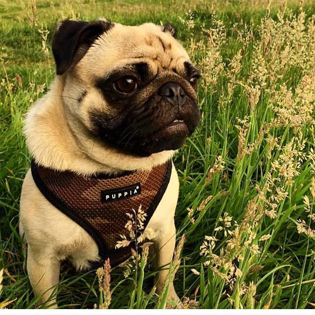 Puppia Camo Soft Harness Available At Www Ilovepugs Co Uk Sizes S
