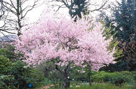 """Prunus subhirtella """"AUTUMNALIS"""" (winterbloeiende Japanse sierkers), mooie winterbloeiende grote heester /kleine boom, bladverliezend"""