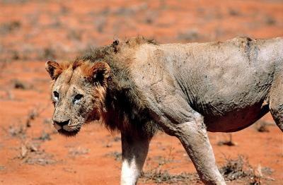 Old, battle-scarred Tsavo Lion -- photo taken in 2001