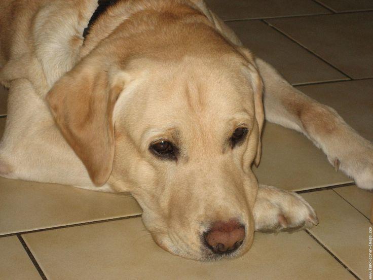 Souvent Les 25 meilleures idées de la catégorie Labrador beige sur  RN81